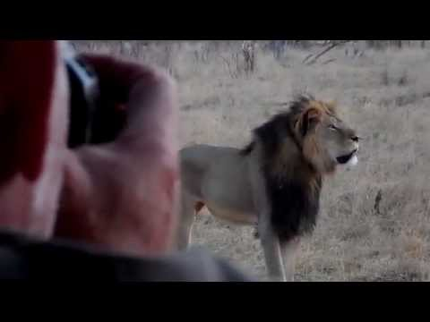 Cecil - Africa's Biggest Lion