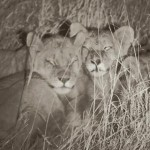 Cecil the lions cubs image